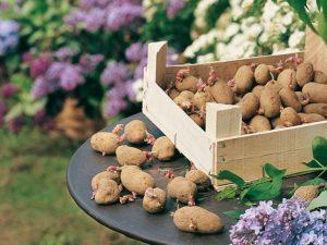 Pomme de terre : 33 variétés, leur culture, leurs utilisations