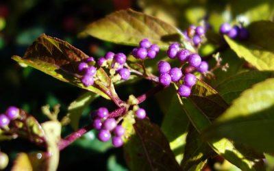 Arbuste aux bonbons violets