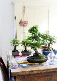 Prendre soin des bonsaïs en hiver