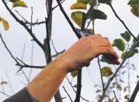 Taille des arbres fruitiers (pommier, poirier, cerisier…)