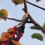 Taille des arbres fruitiers (pommier, poirier, cerisier...)
