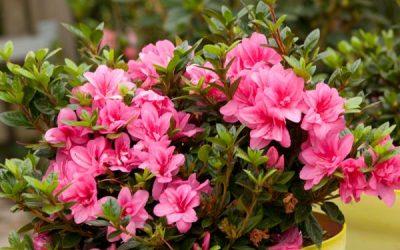 Azalées ENCORE® Globe Planter, des fleurs deux à trois fois par an