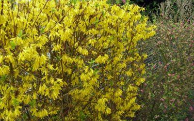 Les arbustes à ne pas tailler en hiver